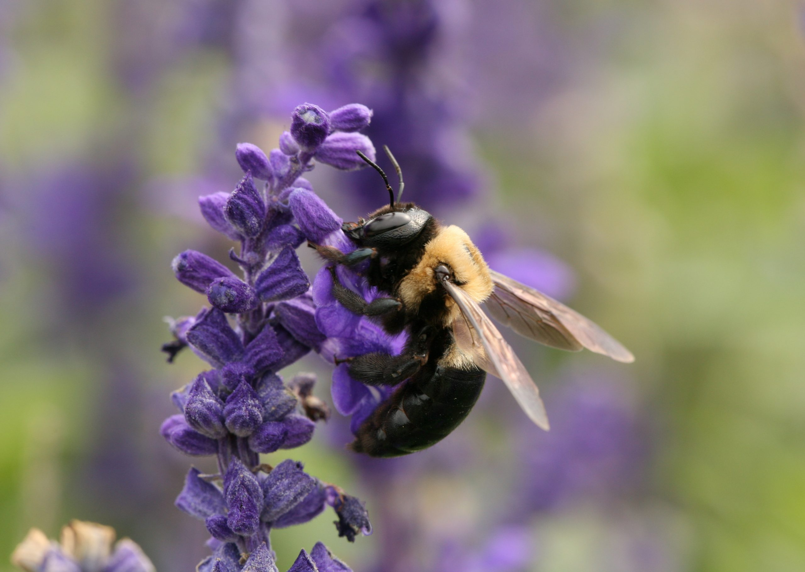 Carpenter Bee - Author Schwen, Daniel - From Wikipedia Creative Commons Attribution-Share Alike 4.0 International License