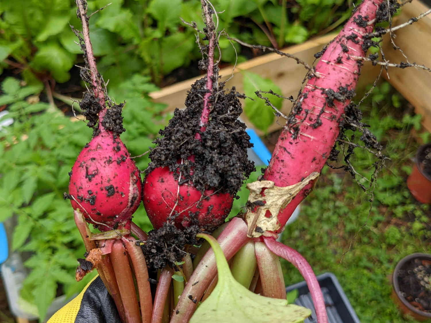 Radishes Fresh Out of Dirt - Paint Covered Overalls - Durham North Carolina